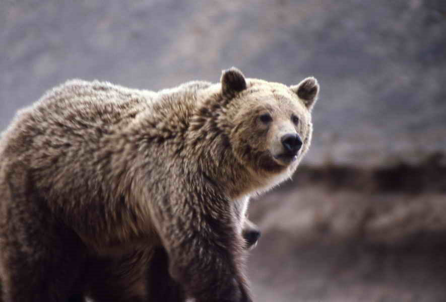 A Big Wild Adventures trek is one of the best ways to see a grizzly bear in the wild.