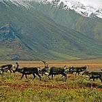 Arctic Caribou