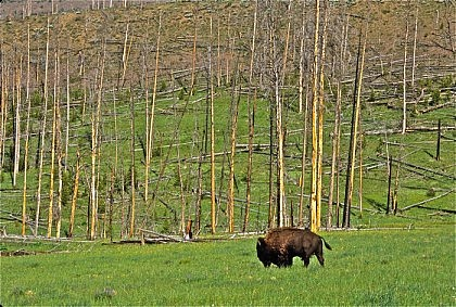 Cache Creek Bison
